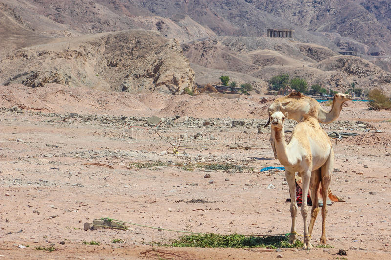 Two Camels traveling stock image