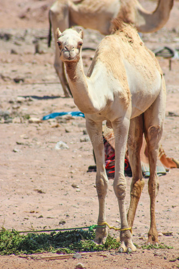 Two Camels traveling stock photo