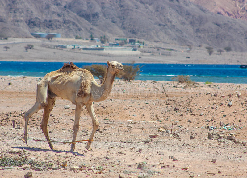 Two Camels traveling royalty free stock photos
