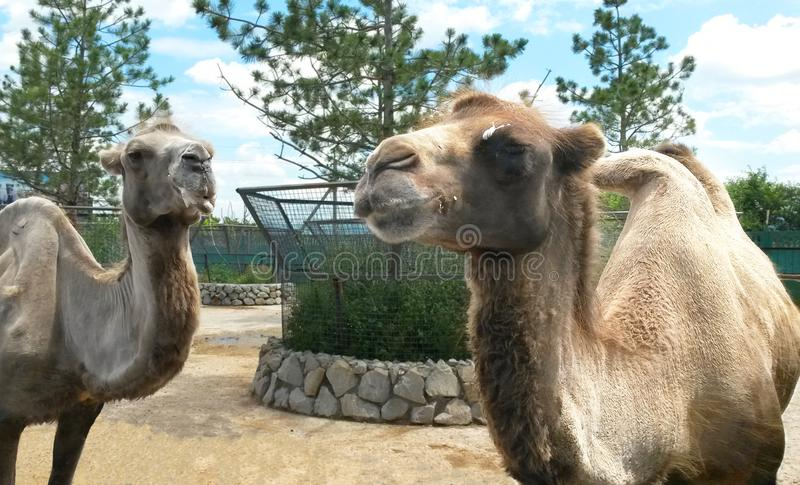 Two camels in the zoo. Spewing a camel, two camels in the zoo, African animals in the zoo. two camels stand next to each other in the zoo stock image