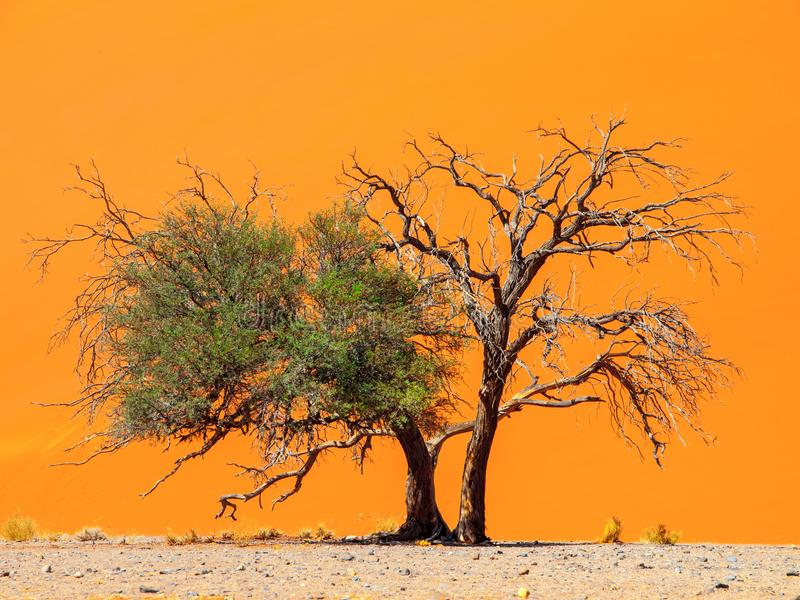 Two camelthorn tree against an orange dune background. First green and alive and second dry and dead. Sossusvlei, Namib royalty free stock photo