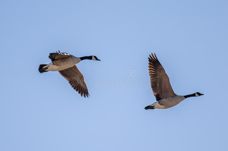 Two Canada geese in flight against a blue sky stock photography