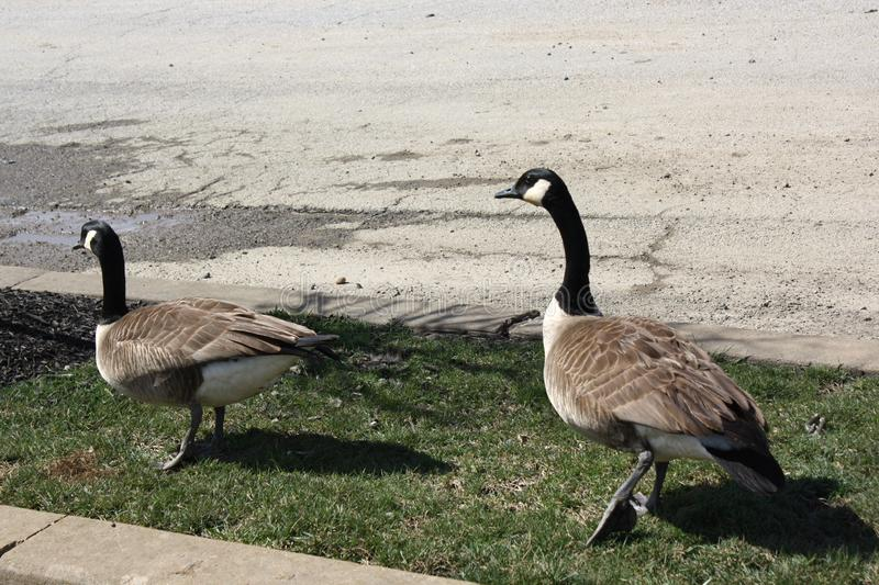 Two Canada geese in Wilmington, Delaware stock images