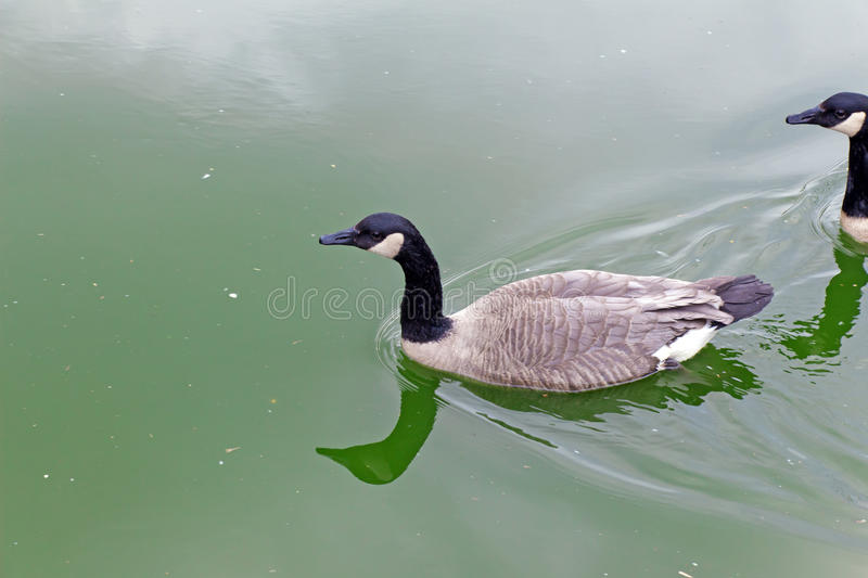 Two the Canada goose (bird, duck) floating on the green water. (Latin: Branta canadensis; class birds; squad anseriformes; family duck royalty free stock photos