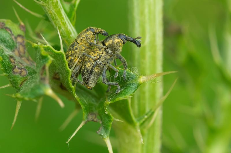 Canada Thistle Bud Weevil - Larinus planus. Two Canada Thistle Bud Weevils mating on a thorny leaf. Native ot Central and Eastern Europe, this Weevil was stock photo