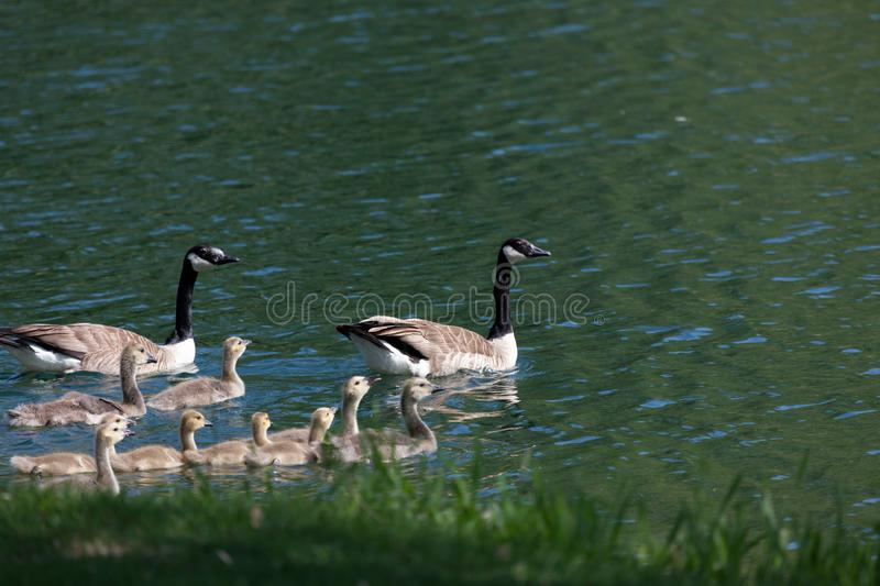 Goose Family swimming in a Pond stock photography