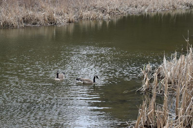 Two Canadian geese in stream in Spring or Autumn with stalks and cat tail like grasses royalty free stock photography