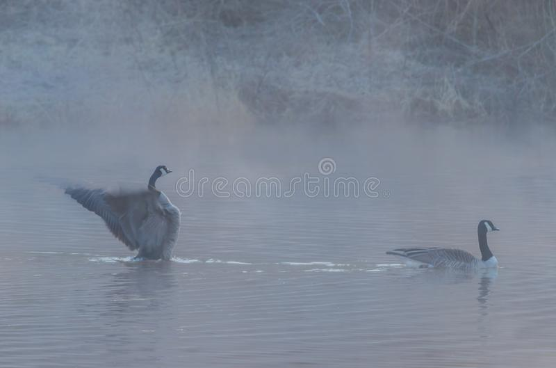 Two canadian geese swimming royalty free stock photography