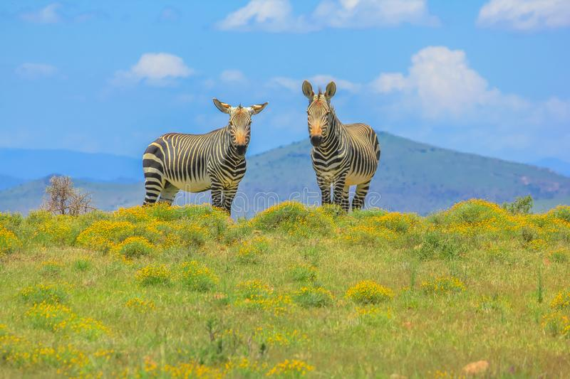 Two Cape Mountain Zebras. Two frontal Cape Mountain Zebra, Equus zebra, in flowery grassland of Zebra Mountain National Park, Eastern Cape, South Africa. The stock images
