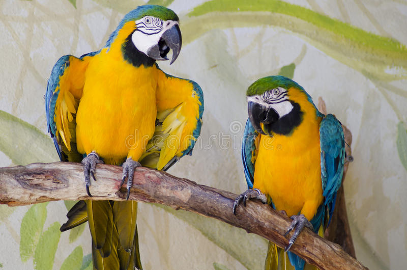 Two captive parrots stock photo