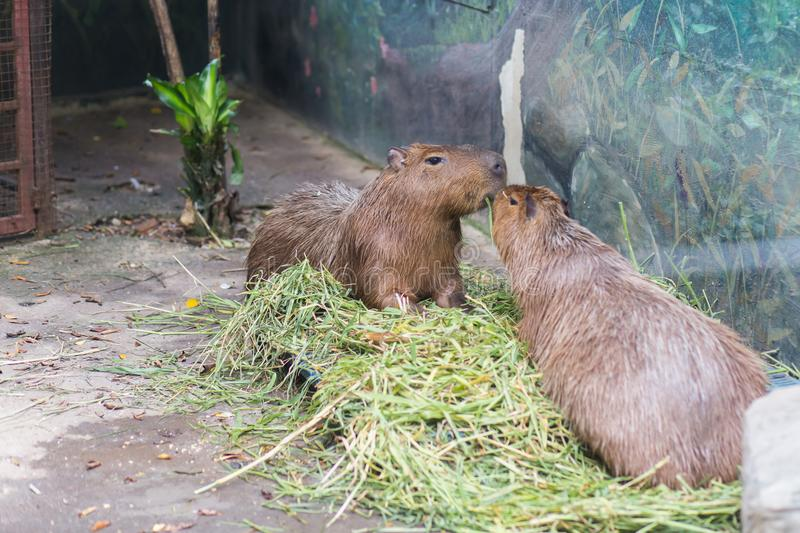 Two capybara eating grass in Dusit Zoo, Thailand stock photography