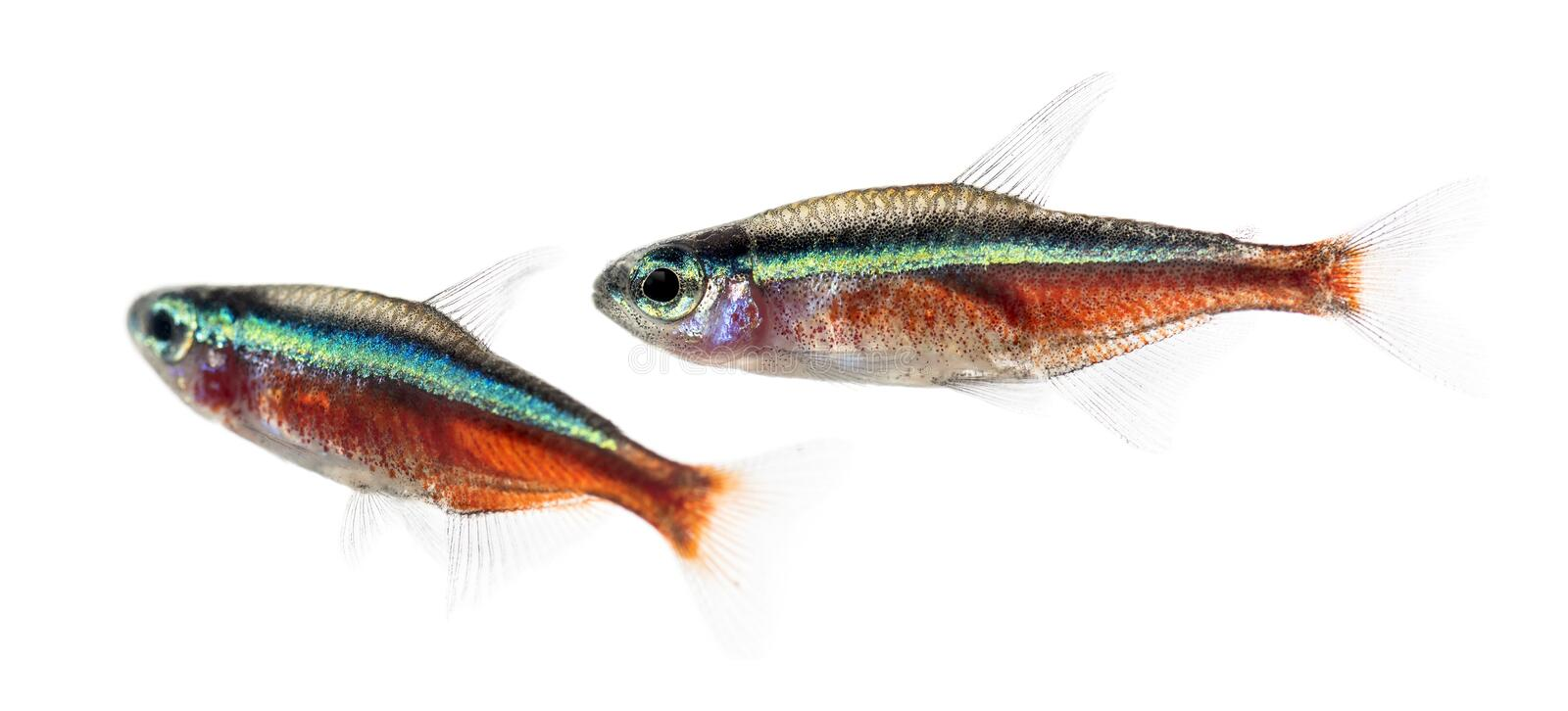 Two Cardinalis fish or cardinal tetra. Isolated on white stock photo