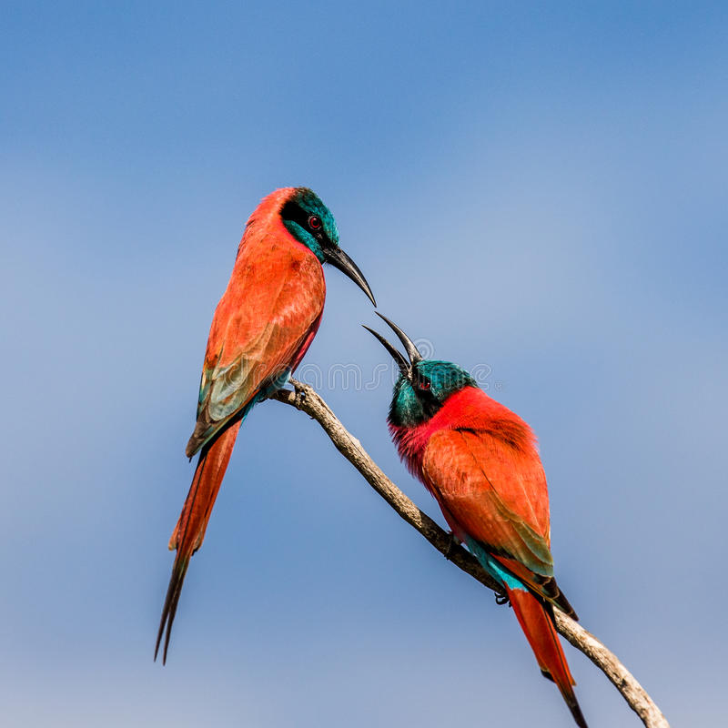 Two Carmine Bee-eaters are sitting on a branch against the blue sky. Africa. Uganda. royalty free stock photo