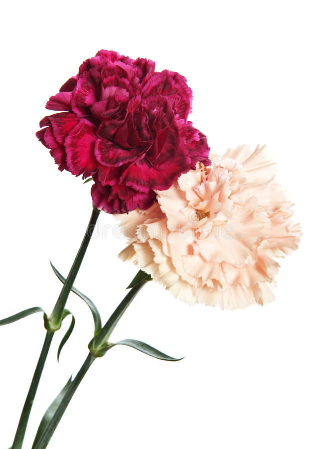 Download Two carnations stock photo. Image of closeup, beauty - 16985410