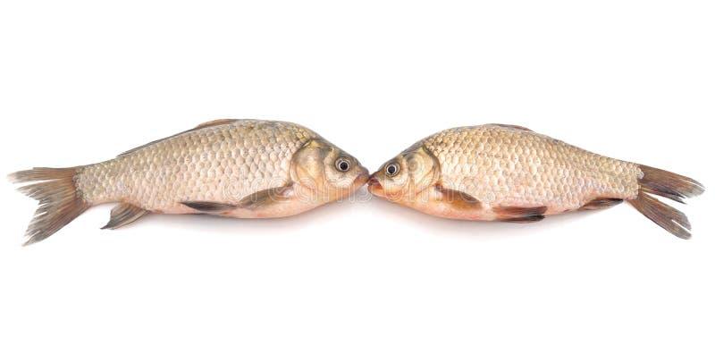 Two carp kissing royalty free stock photos