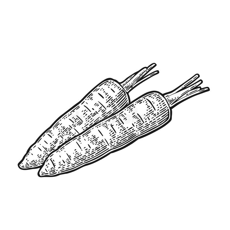 Two carrots. Vector black vintage engraved illustration on white background royalty free illustration