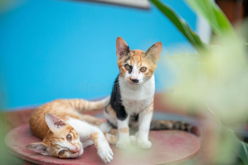 Two cat on a blue background stock photography