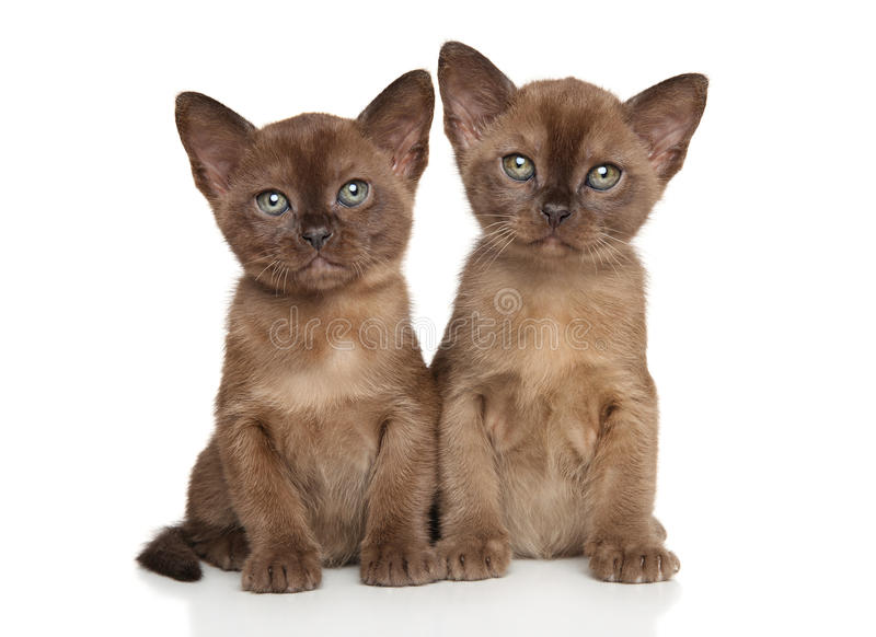 Two cat breed Burmese on white background stock photos