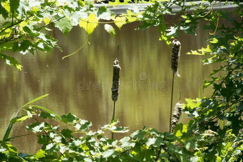 Cat tails through the leaves stock images