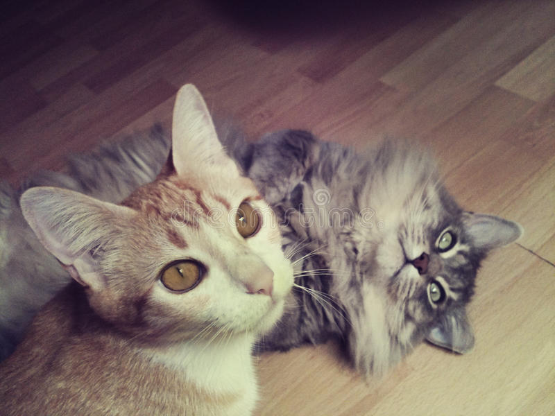 Two Cats. An orange and a grey cat on a wooden floor