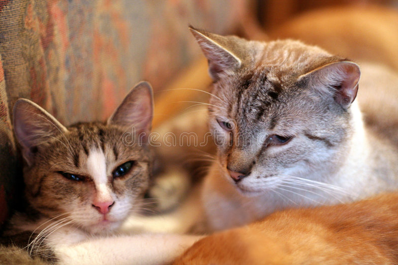 Download Two cats stock photo. Image of lovely, animal, feline - 6181186