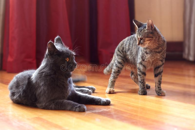 Two cats communicate or play at home. One is of tabby color, standing with displeased face expression; second one is grey, lying a. Fter fighting. Indoors stock photos