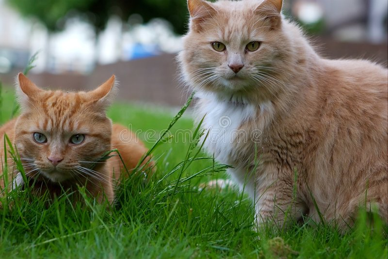 Two cats ginger and cream. Two cats, brothers, one ginger and one cream, stalking prey in the grass stock photos