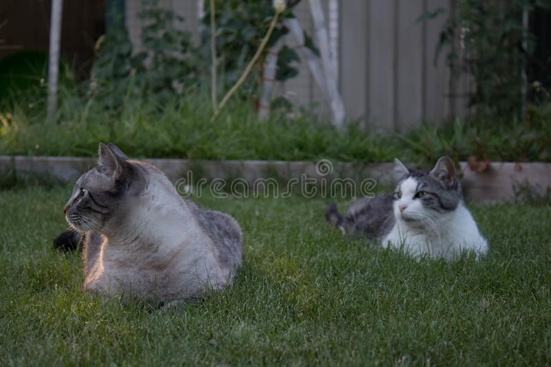 Two cats looking away. Two cats lounging in the grass in the evening looking off in the distance royalty free stock images