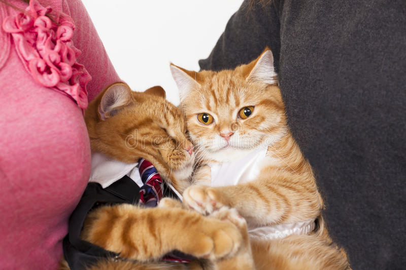 Two cats in love. With owners stock images