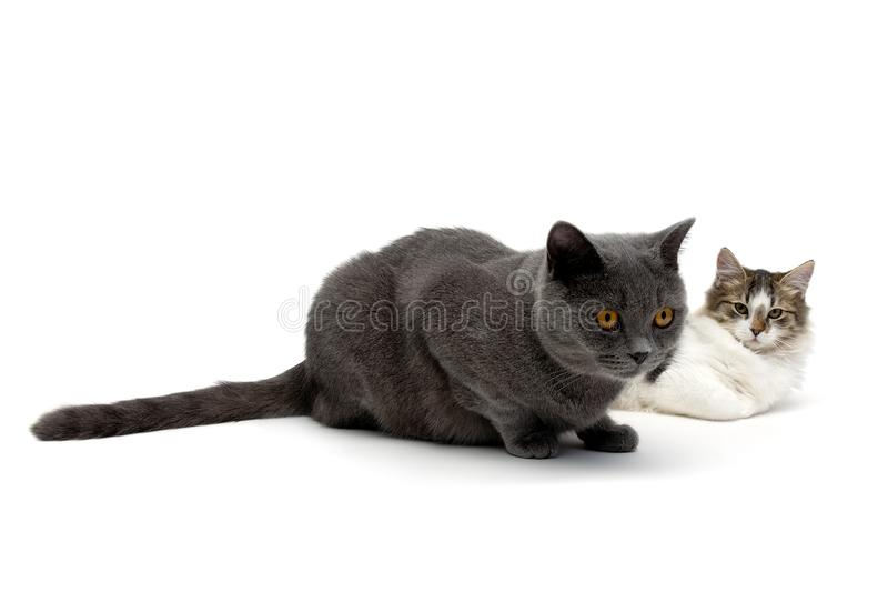 Two cats lying on a white background stock images