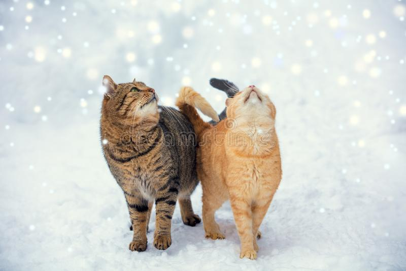 Two cats walk on snow during a snowfall stock photos