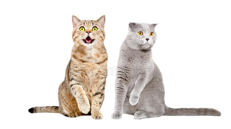 Two cats sitting together with raised paws royalty free stock images