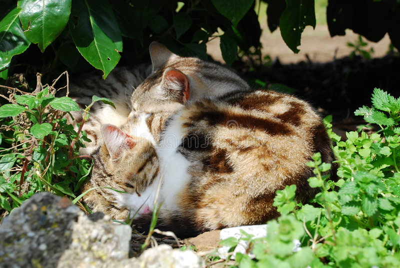 Download Two Cats Sleeping stock image. Image of striped, small - 5279151