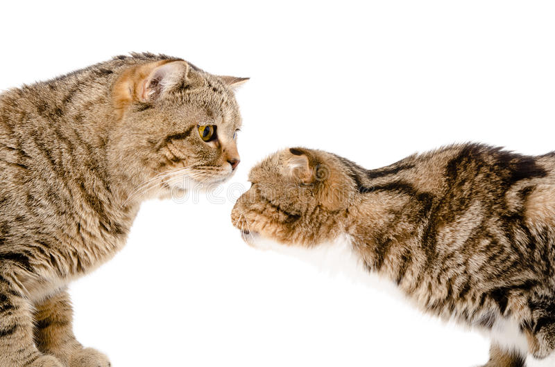 Two cats sniffing each other stock image