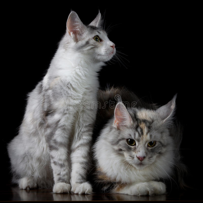 Two cats on a table. On black background stock images