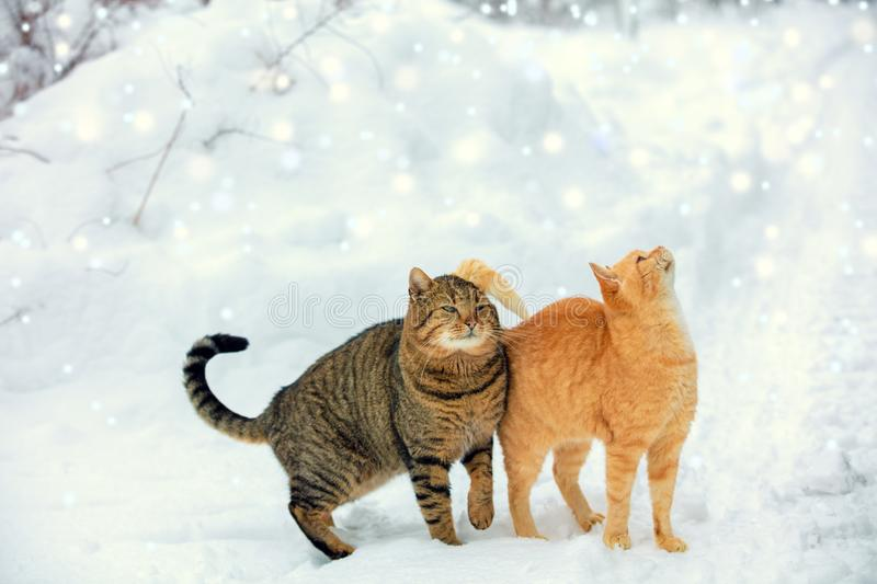 Two cats walk on snow during a snowfall stock images