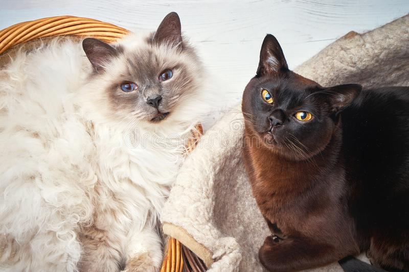 Two cats in wicker basket. Burmese cat and Sacred birma cat lying in a basket. Top view. Two cats in wicker basket. Burmese cat and Sacred birma cat lying in a stock image