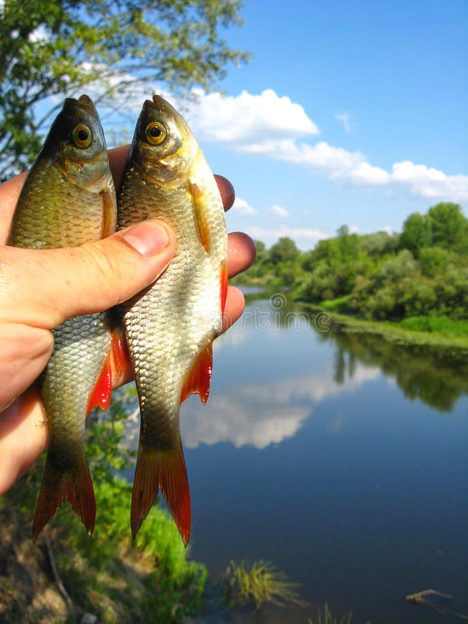 Download Two Caught Ruddes In A Hand Stock Image - Image: 28358729