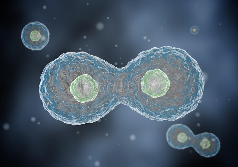 Two cells divide by osmosis. stock photography