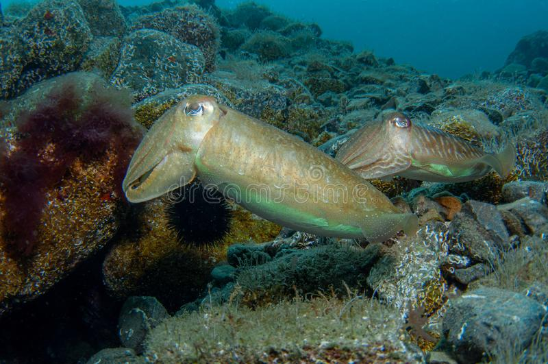 Two cephalopods are mating under the sea royalty free stock images