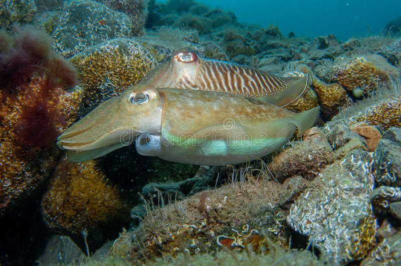 Two cephalopods are mating under the sea royalty free stock photography