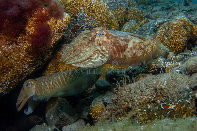 Two cephalopods are mating under the sea stock photography