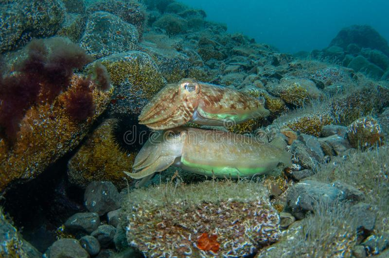 Two cephalopods are mating under the sea stock image