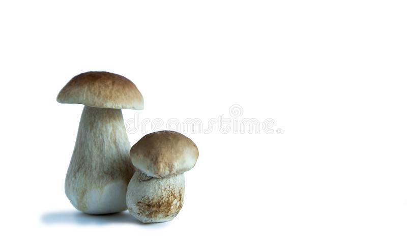 Two ceps, one large and one small on a white background. Two mushrooms with brown hats. Isolate royalty free stock photo