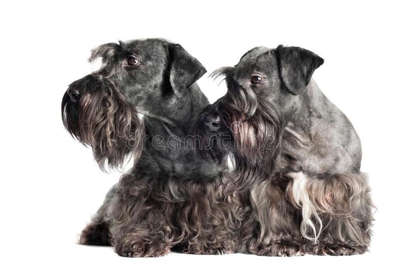 Two cesky terrier dogs together. Grey czech terrier dogs together stock image