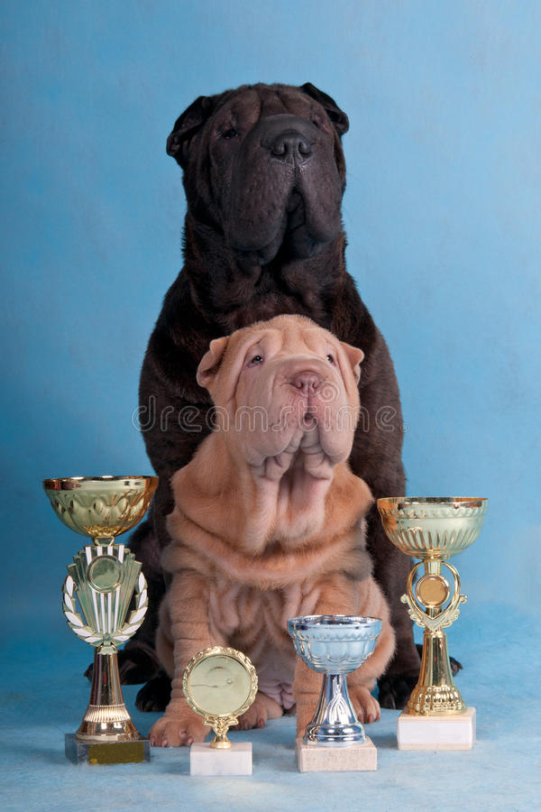 Two Champion Shar-pei
