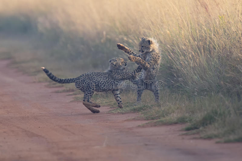 Two Cheetah cubs playing early morning in a road stock photo
