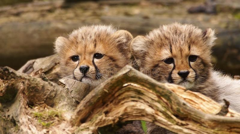 Two cheetah cubs. Three months old cheetah cubs royalty free stock photography