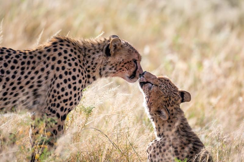 Two cheetahs brush each other after the meal. The cheetahs brush each other after the meal stock photos