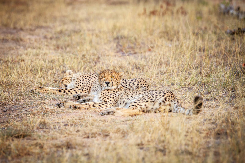 Download Two Cheetahs Laying In The Grass. Stock Photo - Image: 83718089
